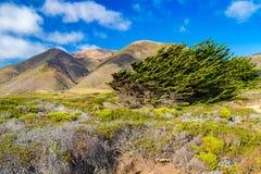 Cyprysowi drzewa zginali wiatrami blisko Garrapata stanu parka, Californi fotografia royalty free