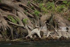 Cyprysowi korzenie obraz stock