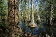 Cyprysowy bagno w Południowa Karolina, usa Fotografia Stock