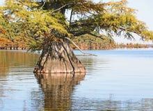 Cyprysowy drzewo Zdjęcia Stock