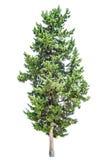 Cyprysowy drzewo odizolowywający Zdjęcie Royalty Free