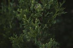 Cyprysowy drzewo opuszcza teksturę i tło Zamyka w górę widoku cyprys zieleni liście Fotografia Royalty Free
