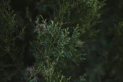 Cyprysowy drzewo opuszcza teksturę i tło Zamyka w górę widoku cyprys zieleni liście Obraz Royalty Free