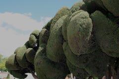 Cyprysowy makro-, Cupressus sempervirens zdjęcie stock