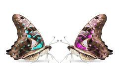 Cyraneczka i purpury barwimy Ogoniastego Jay Graphium agamemnon motyla Obraz Royalty Free