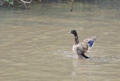 Cyraneczki łopotania skrzydeł pławik nad jeziorem fotografia stock