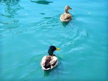 Cyraneczki błękitne wody Obrazy Stock