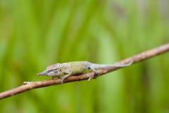 Cyrano Chameleon - Madagascar Endemic Reptile Stock Images