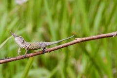 Cyrano Chameleon - Madagascar Endemic Reptile. Cyrano Chameleon - Rare Madagascar Endemic Reptile royalty free stock image