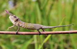 Cyrano Chameleon - Madagascar Endemic Reptile Stock Photo