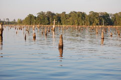 Cyress stumps. Cypress stumps in calm waters Royalty Free Stock Photo