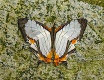 Cyrestis Nivea Nivalis butterfly in a garden Stock Image