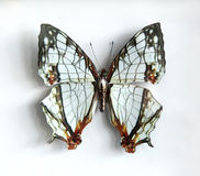 Cyrestis thyodamas a Beautiful giant butterfly Stock Images
