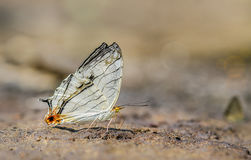 Cyrestis Thyodamas Thyodamas butterfly. Cyrestis Thyodamas Thyodamas Boisduval butterfly in Nature on sand Royalty Free Stock Photos