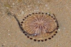 Cyrklowy jellyfish Chrysaora hysoscella obrazy stock