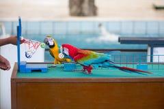 Cyrkowi przedstawienia papugi bawić się piłki fotografia royalty free