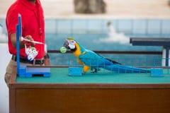 Cyrkowi przedstawienia papugi bawić się piłki fotografia stock