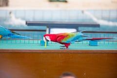 Cyrkowi przedstawienia papugi bawić się pierścionki fotografia royalty free