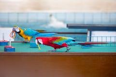 Cyrkowi przedstawienia papugi bawić się pierścionki obrazy royalty free