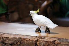 Cyrkowi przedstawienia papugi na Fuerteventura fotografia stock
