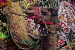 Cyrkowy wielbłąd Fotografia Royalty Free