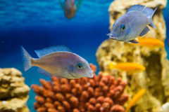 Cyrtocara moorii (два цихлида голубой дель. Photo of exotic fish in home aquarium Royalty Free Stock Photography