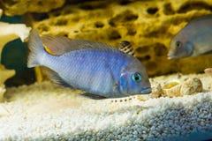 Cyrtocara moorii (Цихлида голубой дельфин. Photo of exotic fish in home aquarium Royalty Free Stock Photos
