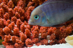 Cyrtocara moorii (Цихлида голубой дельфин. Photo of exotic fish in home aquarium Royalty Free Stock Photo