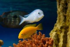 Cyrtocara moorii (Цихлида дельфин в аквари. Photo of exotic fish in home aquarium Stock Images