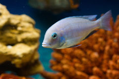 Cyrtocara moorii. Photo of exotic fish in home aquarium Royalty Free Stock Image