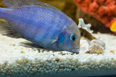 Cyrtocara moorii. Photo of exotic fish in home aquarium Stock Photography
