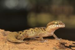 Clouded ground gecko, Cyrtodactylus nebulosus. Visakhapatnam, Andhra Pradesh, India. Cyrtodactylus nebulosus is very widely distributed in the Eastern Ghats of royalty free stock photo