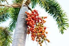 Cyrtostachys renda (封印棕榈,唇膏棕榈,王侯棕榈, 免版税库存图片