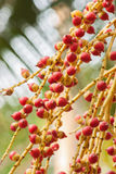 Cyrtostachys renda Blume. Close-up of Red sealing wax palm tree in the garden stock images