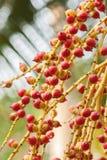 Cyrtostachys renda Blume Stock Images