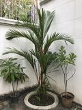 Cyrtostachys renda or Lipstick palm. Cyrtostachys renda or Red sealing wax palm or Lipstick palm stock images