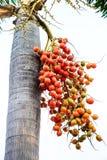 Cyrtostachys renda (Pieczęciowego wosku palma, pomadki palma, Raja palma, Obrazy Royalty Free