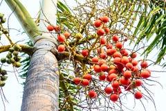 Cyrtostachys renda (Sealing wax palm, Lipstick palm, Raja palm, Royalty Free Stock Images