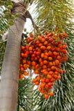 Cyrtostachys renda. Sealing wax palm, lipstick palm, Raja palm, Maharajah Palm Stock Photography