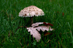 Cystolepiota Stock Photos