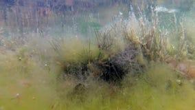Cystoseira för brun alg på ett grunt djup i limanen stock video