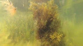 Cystoseira för brun alg på ett grunt djup i limanen lager videofilmer