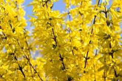 Cytise Anagyroides - pluie d'or Photos libres de droits