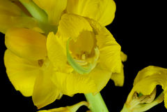 Cytisus battandieri, Pineapple Broom Flower 3 Stock Photos