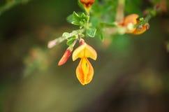 Cytisus gele bloei stock afbeeldingen
