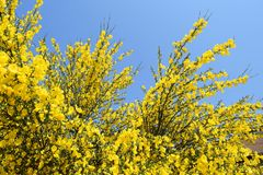 Cytisus scoparius Stock Photos