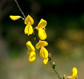 Cytisus scoparius / scotch broom. Unusually-shaped yellow flower, latin name...cytisus scoparius, common name, scotch broom Stock Image