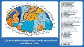 Cytoarchitectonic mapping of the human dorsal extrastriate cortex. Vector scheme vector illustration