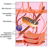 Cytoskeleton stock illustration