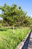 Cytrusów drzewa w ogródzie w Sicily Zdjęcie Royalty Free